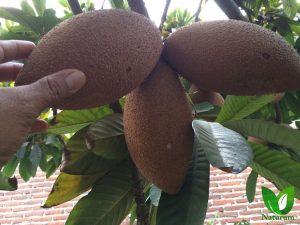 produccion de arboles frutales en chiapas mexico