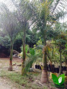 Produccion De Palmeras 20 225x300 - Produccion de Palmeras en Chiapas, México