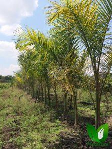 Produccion De Palmeras 21 225x300 - Produccion de Palmeras en Chiapas, México
