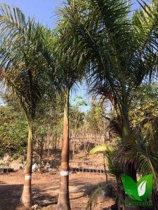 Produccion De Palmeras 22 225x300 - Produccion de Palmeras en Chiapas, México