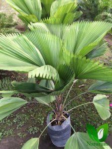 especies de palmeras