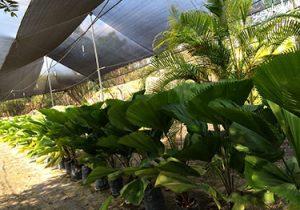 produccion de palmeras 300x210 - Produccion de Palmeras en Chiapas, México
