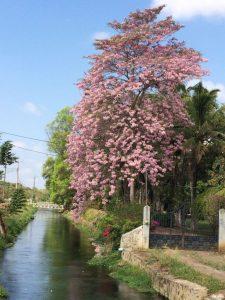Conoce uno de los Arboles Nativos mas hermosos de Chiapas