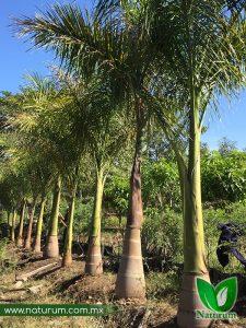 Palma Real 225x300 - Produccion de Palmeras en Chiapas, México