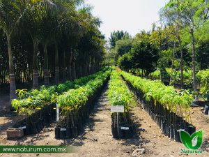 Arboles Frutales en Chiapas