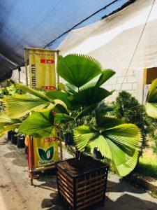 palmera 225x300 - Produccion de Palmeras en Chiapas, México