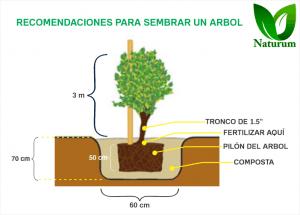 Recomendaciones al plantar un árbol de más de 2 metros.