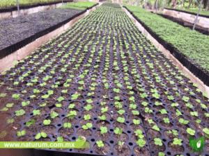 semillas forestales venta