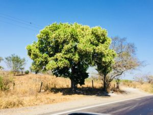 Árbol de Nambimbo (Ehrethia tinifolia)